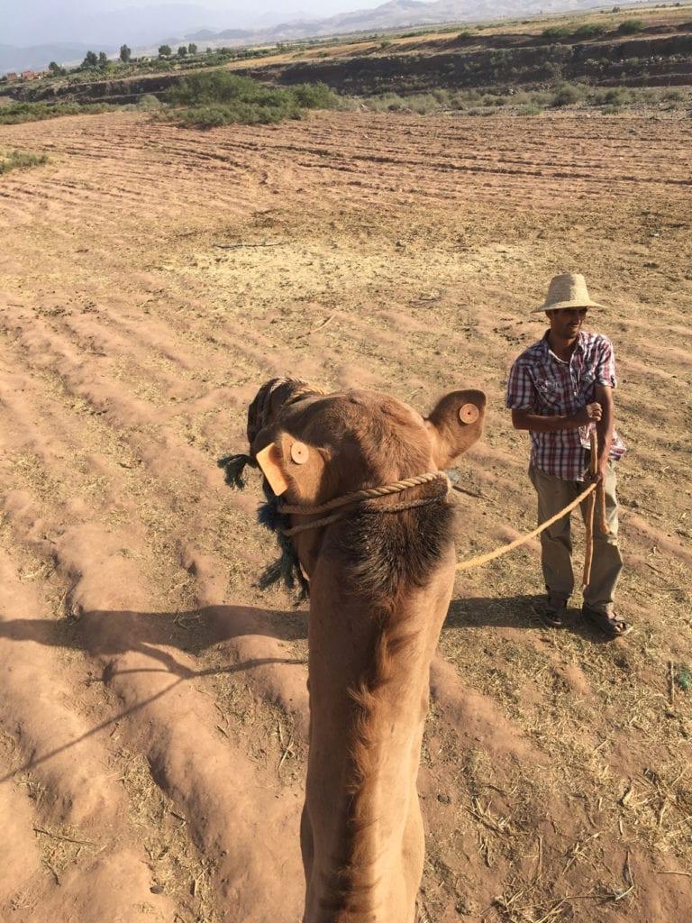 wielbłądy maroko
